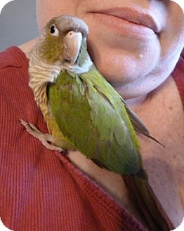 Conure for Sale in Tampa, Florida - Piper
