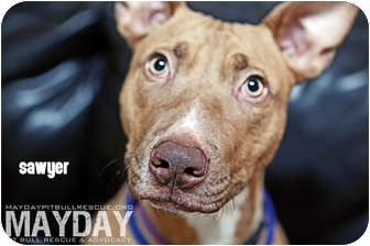 American Pit Bull Terrier Mix Dog for adption in Phoenix, Arizona - Sawyer