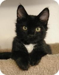 Domestic Shorthair Cat for Sale in Sacramento, California - Cooper