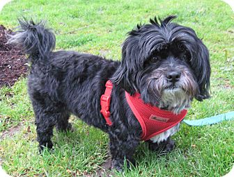 Shih Tzu/Lhasa Apso Mix Dog for Sale in Portland, Oregon - Baxter