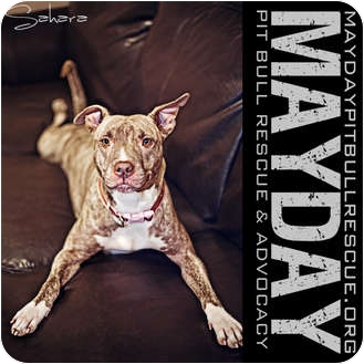American Pit Bull Terrier Dog for Sale in Phoenix, Arizona - Sahara (Courtesy Post)