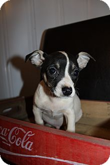 Chihuahua Mix Puppy for Sale in Wytheville, Virginia - Smudge McGruff