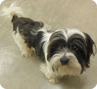 Shih Tzu Dog for Sale in Phoenix, Arizona - Finley