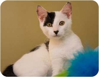 Domestic Shorthair Cat for Sale in Little Falls, New Jersey - Petey (KL)