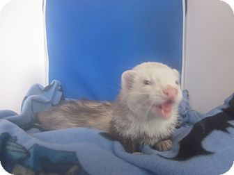 Ferret for Sale in Toledo, Ohio - Kovu