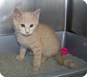 Domestic Shorthair Kitten for Sale in Dover, Ohio - Buster