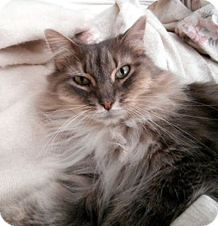 Domestic Longhair Cat for adoption in Alexandria, Virginia - Matty Graystone