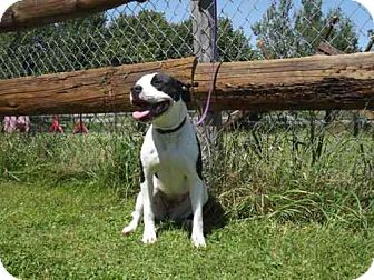 American Bulldog Mix Dog for adption in Phillips, Wisconsin - Sabrina