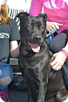 Labrador Retriever/Pit Bull Terrier Mix Dog for Sale in Phoenix, Arizona - Maggie