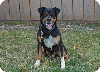 Rottweiler Mix Dog for Sale in New cumberland, West Virginia - Slim