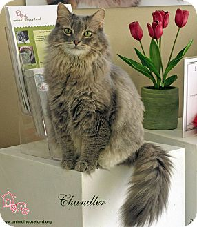 Domestic Longhair Cat for Sale in St Louis, Missouri - Chandler