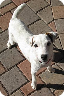 Jack Russell Terrier Dog for Sale in Scottsdale, Arizona - CRYSTAL
