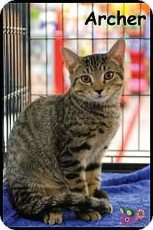 Domestic Shorthair Kitten for Sale in Merrifield, Virginia - Archer