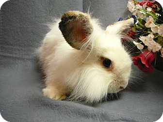 Lionhead Mix for Sale in Newport, Delaware - Jellybean