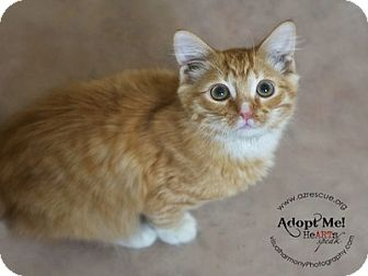 Domestic Shorthair Kitten for Sale in Phoenix, Arizona - Gizmo