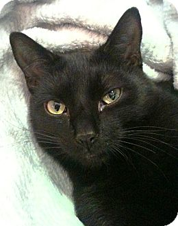 Domestic Shorthair Cat for adoption in Brooklyn, New York - Jacques