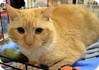 Domestic Shorthair Cat for adoption in Herndon, Virginia - Gabby