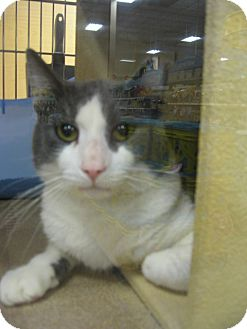Manx Cat for Sale in Temple, Pennsylvania - Hoitt