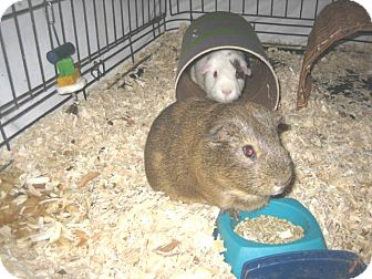 Guinea Pig for adoption in Glendale, Arizona - Charlie