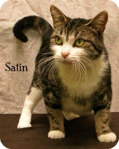 Domestic Shorthair Cat for adoption in Warren, Pennsylvania - Satin