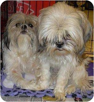 Shih Tzu Dog for adption in Lucerne Valley, California - 7 purebreds