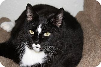 Domestic Shorthair Cat for adoption in Lombard, Illinois - Beanie