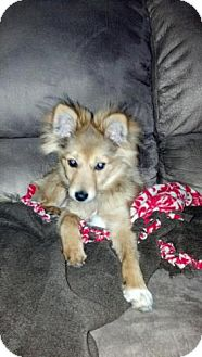 Collie/Pomeranian Mix Puppy for Sale in Atascadero, California - Theodore AKA Teddy