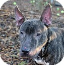 Bull Terrier Dog for Sale in Tinton Falls, New Jersey - Sputnik
