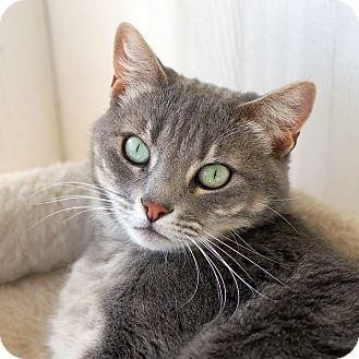 Domestic Shorthair Cat for adoption in El Cajon, California - Sydney