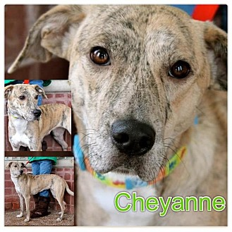 Whippet/Labrador Retriever Mix Dog for Sale in Westland, Michigan - Cheyanne