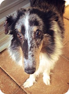 Sheltie, Shetland Sheepdog Mix Dog for Sale in Gainesville, Florida - Cookie