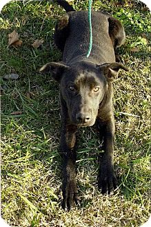 Labrador Retriever Mix Dog for adption in Moulton, Alabama - Sidney