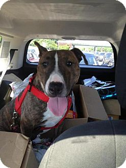 Pit Bull Terrier Mix Dog for adption in Flushing, New York - Amy