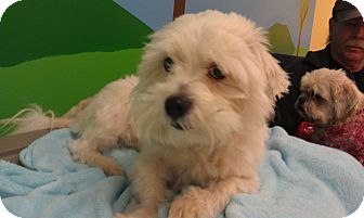 Westie, West Highland White Terrier/Shih Tzu Mix Dog for adption in New Windsor, New York - Skippy