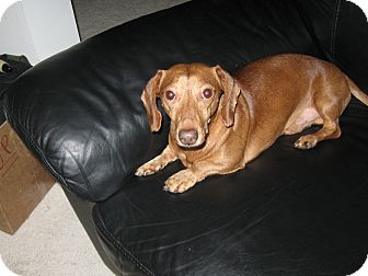 Dachshund Dog for adption in Baltimore, Maryland - Beamer