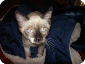 Siamese Kitten for Sale in Gilbert, Arizona - Chai