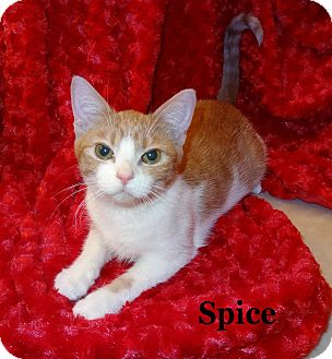 Domestic Shorthair Kitten for Sale in Bentonville, Arkansas - Spice