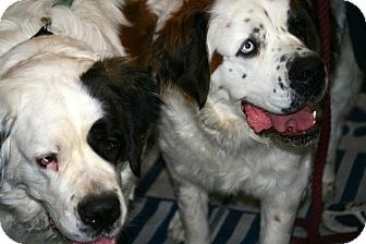 St. Bernard Dog for Sale in Glendale, Arizona - Cheyenne & Gretchen