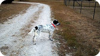 Setter (Unknown Type)/English Setter Mix Dog for Sale in Granbury, Texas - Selma
