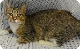 Domestic Shorthair Cat for adoption in Mt. Prospect, Illinois - Brie