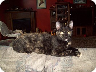Domestic Shorthair Cat for Sale in Dover, Ohio - Tootsie