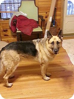 German Shepherd Dog Dog for Sale in Nashville, Tennessee - Zeus