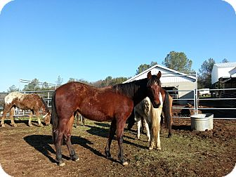Quarterhorse/Other/Unknown Mix for adoption in Bangor, California - Sienna