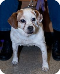 Beagle Dog for adption in Loudonville, New York - Molly