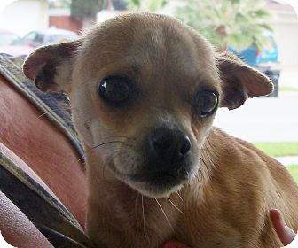 Chihuahua Mix Dog for adption in San Diego, California - Pam URGENT