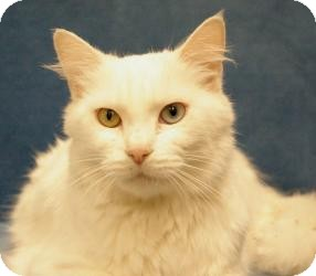 Turkish Angora Cat for Sale in Sacramento, California - Sofia