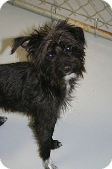 Terrier (Unknown Type, Small) Mix Puppy for Sale in Muskegon, Michigan - Mason