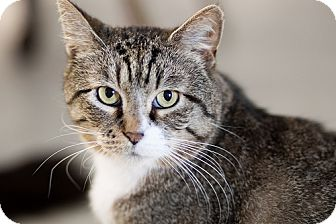 Domestic Shorthair Cat for adoption in Chicago, Illinois - Dijon