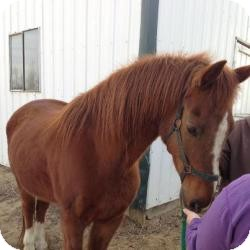Saddlebred Mix for adoption in Eaton, Colorado - Max