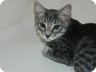 Domestic Shorthair Cat for adoption in Elizabeth City, North Carolina - Louie